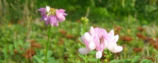 Rosa Blüten auf Sedumteppich